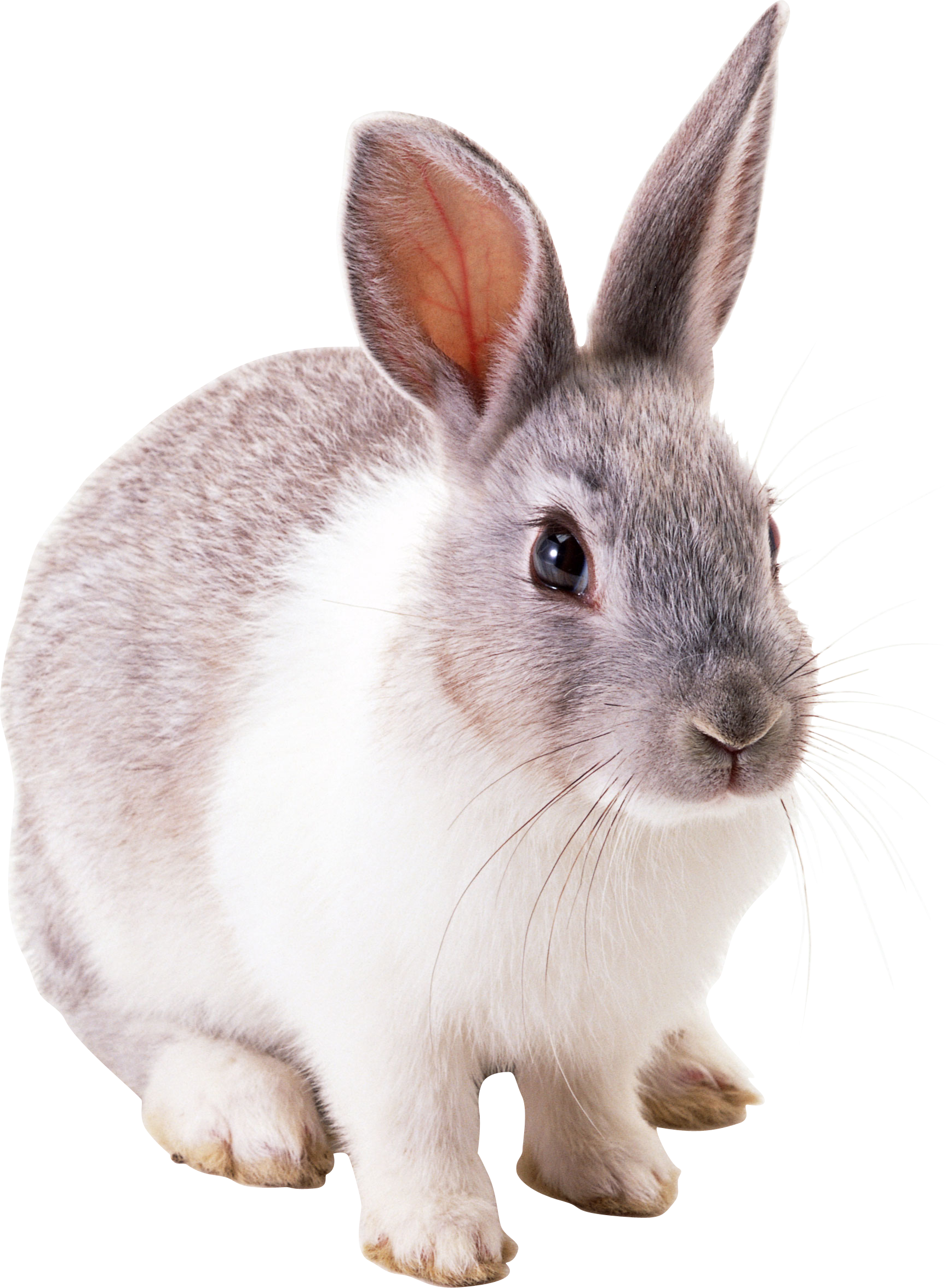 Rabbit png. Images free pictures download