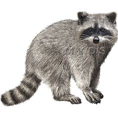 Raccoon clipart realistic. Mascot image of a