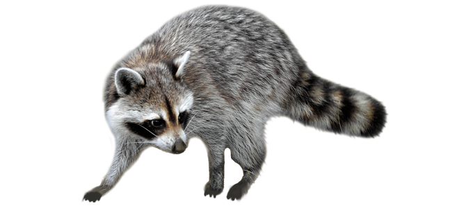Raccoon png. Images free download