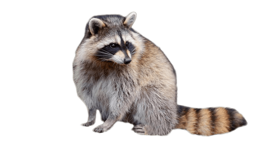 Raccoon png. Sitting free images toppng