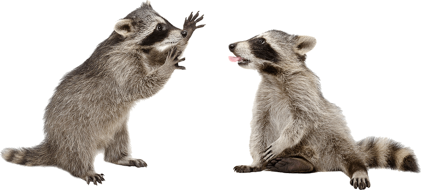 Raccoon tail png. Interesting raccoons facts