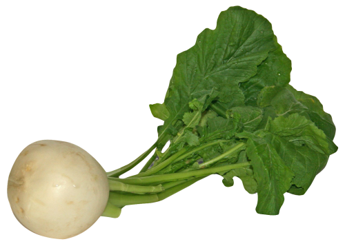 Radish vector turnip. Png hd transparent images