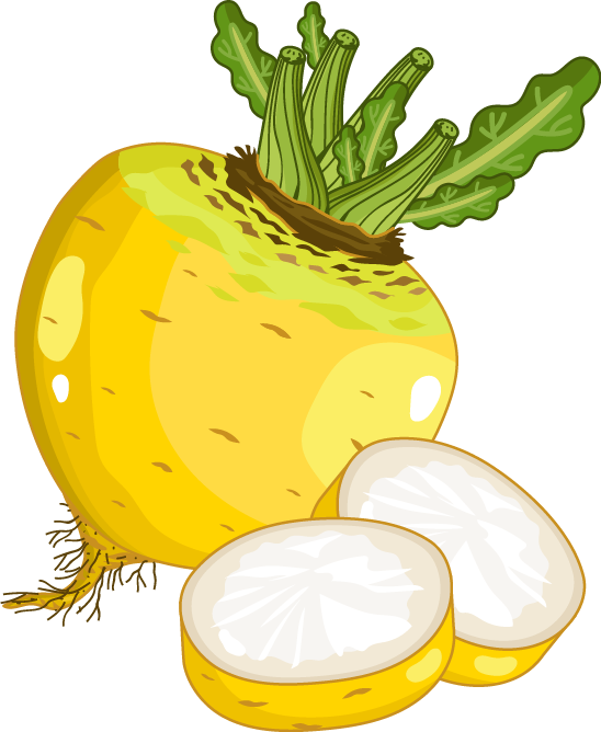 Radish vector turnip. Rutabaga vegetable hand painted