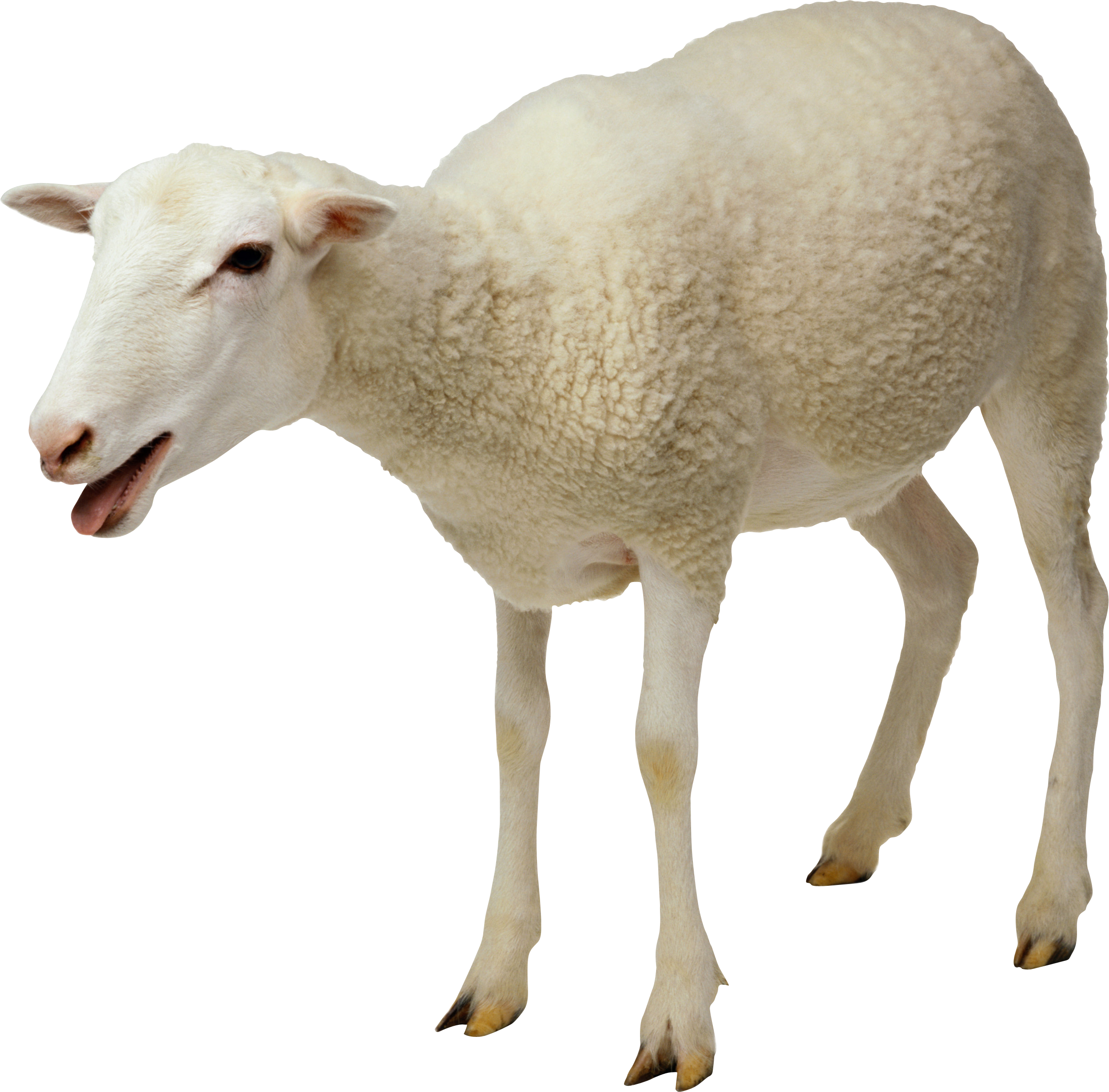 Ram animal png. Sheep image free download