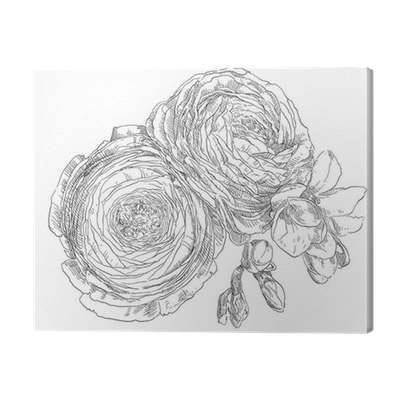 Ranunculus drawing flower. Hand blossom canvas print