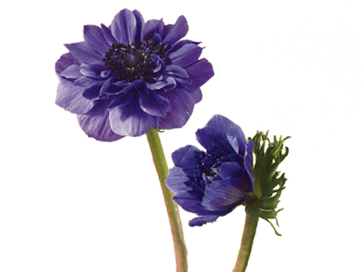 Delphinium drawing victorian flower. Discover the language meanings