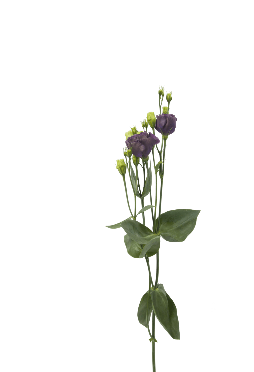 Ranunculus drawing lisianthus. Our top favorite fall