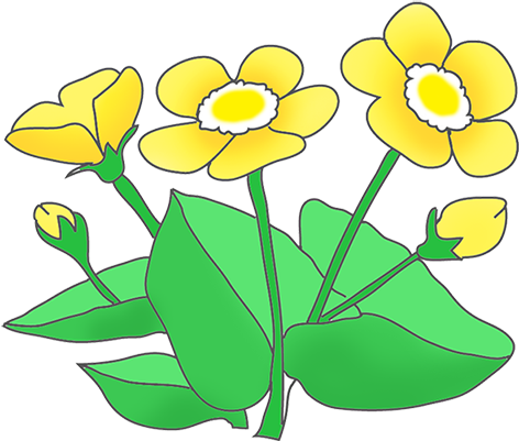 Ranunculus drawing ink. Buttercup flower clipart at