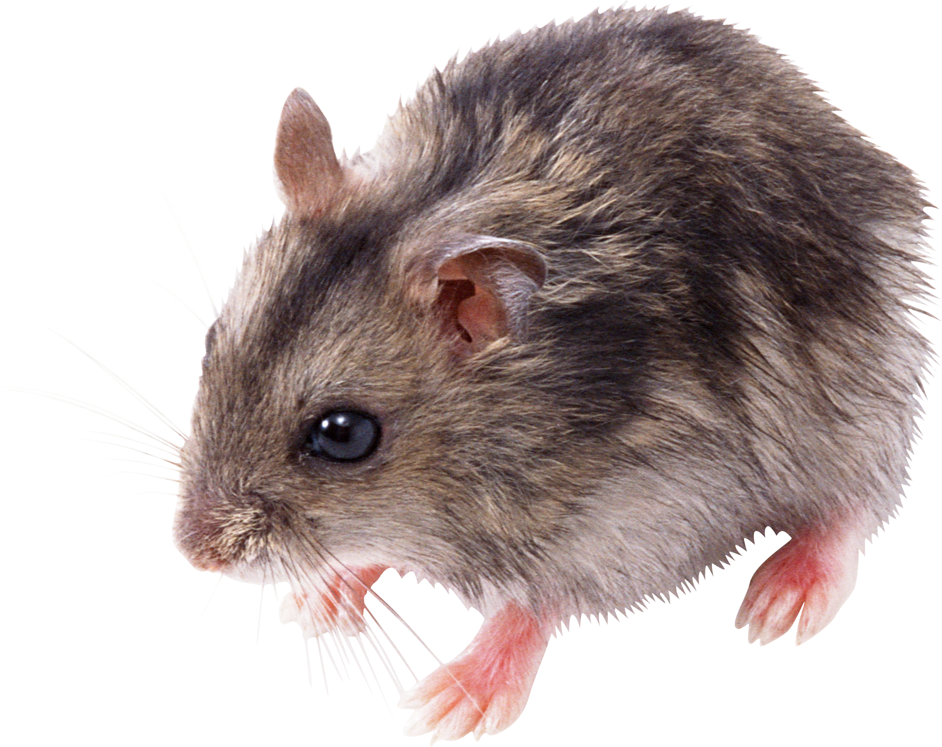 Animal png images. Rat mouse mice free