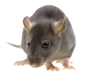 Rat png. Mouse mice free images