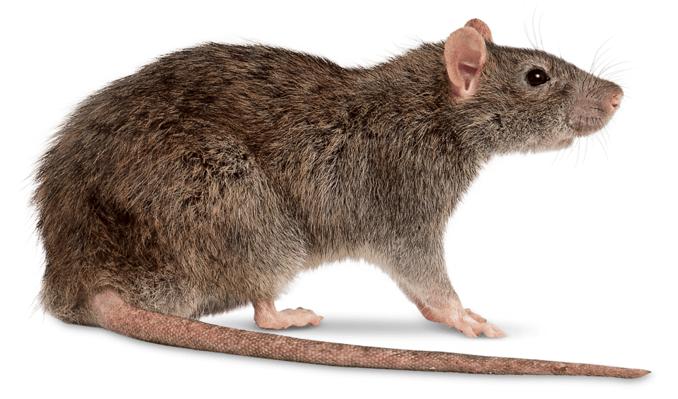 Rat png images. Right transparent stickpng animals