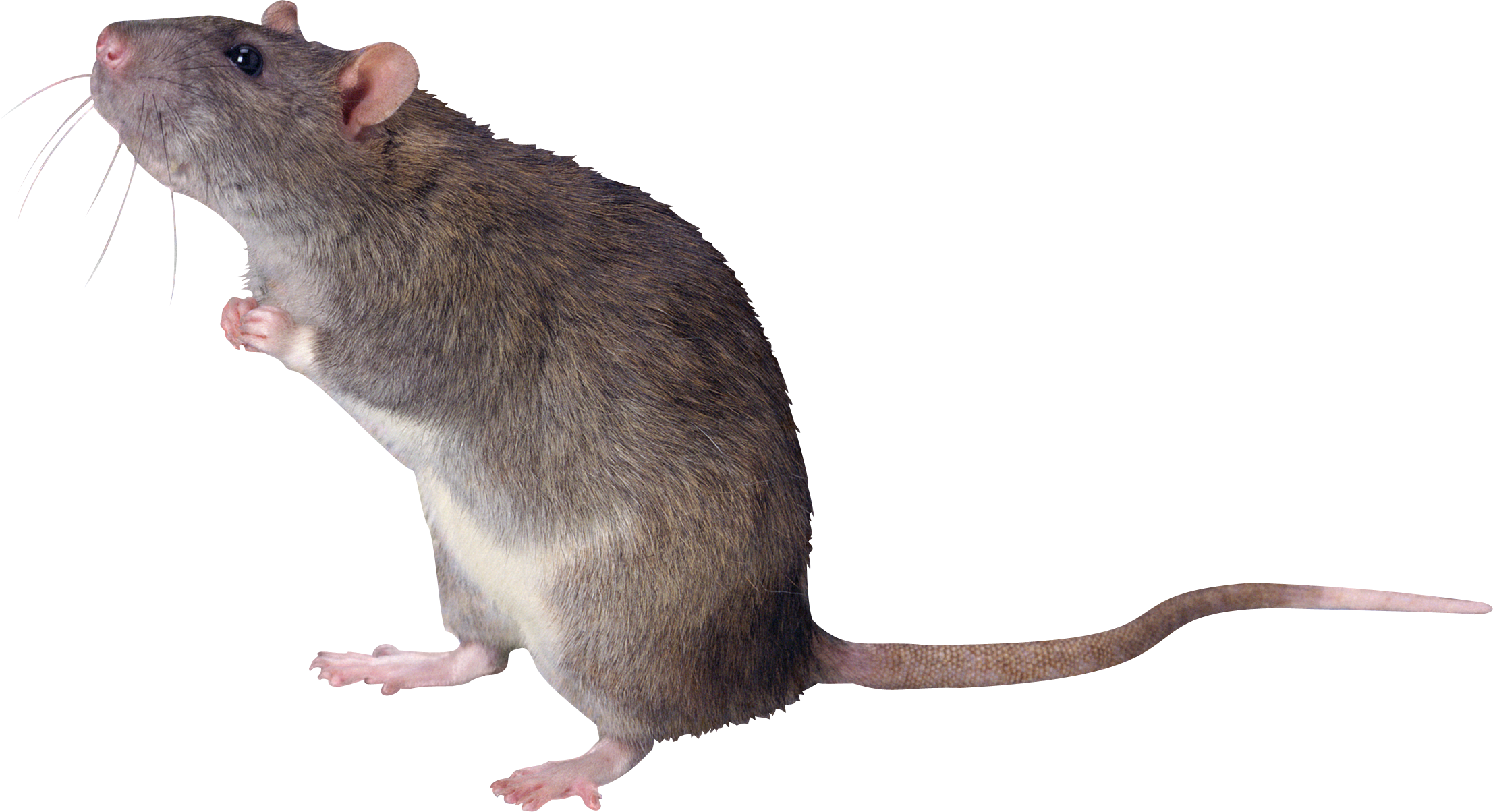 Rat png images. Mouse mice free pictures