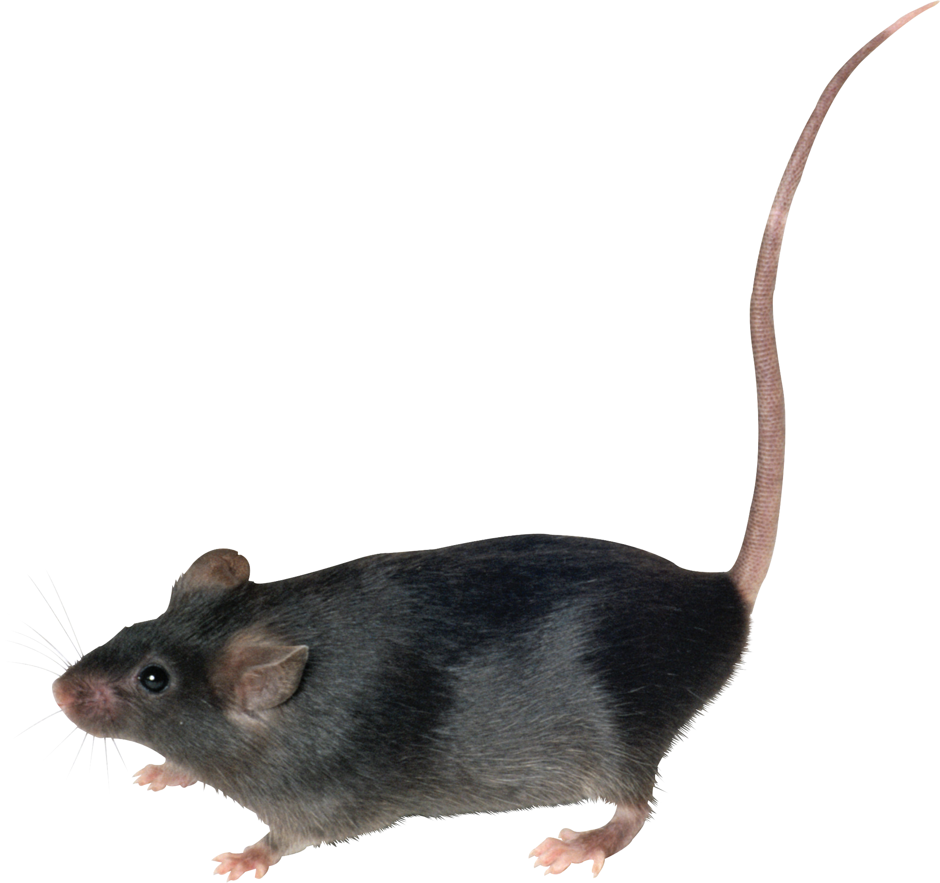 Rat png images. Mouse high quality web