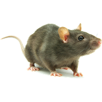 Rat png. Download free photo images