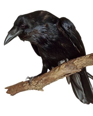 Raven bird png. Ravens electronic control repel