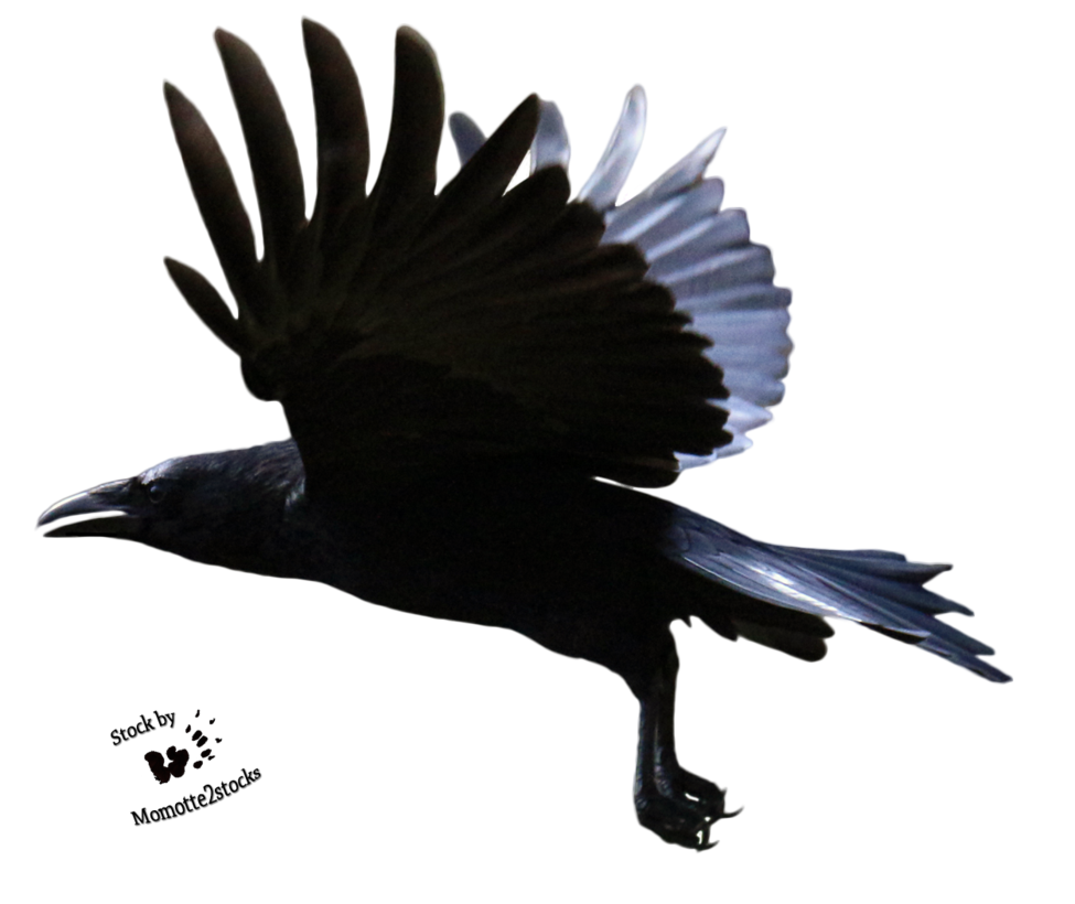 Crow flying png. Pin by jennifer williams