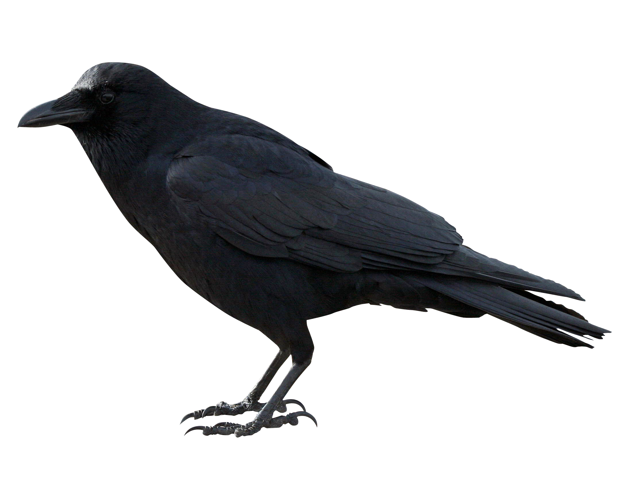 Raven clipart png. American crow common clip