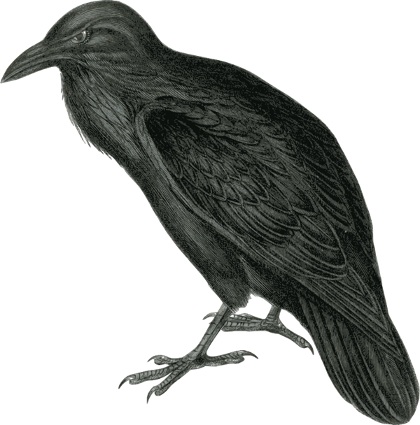 Raven clipart png. Free to use public