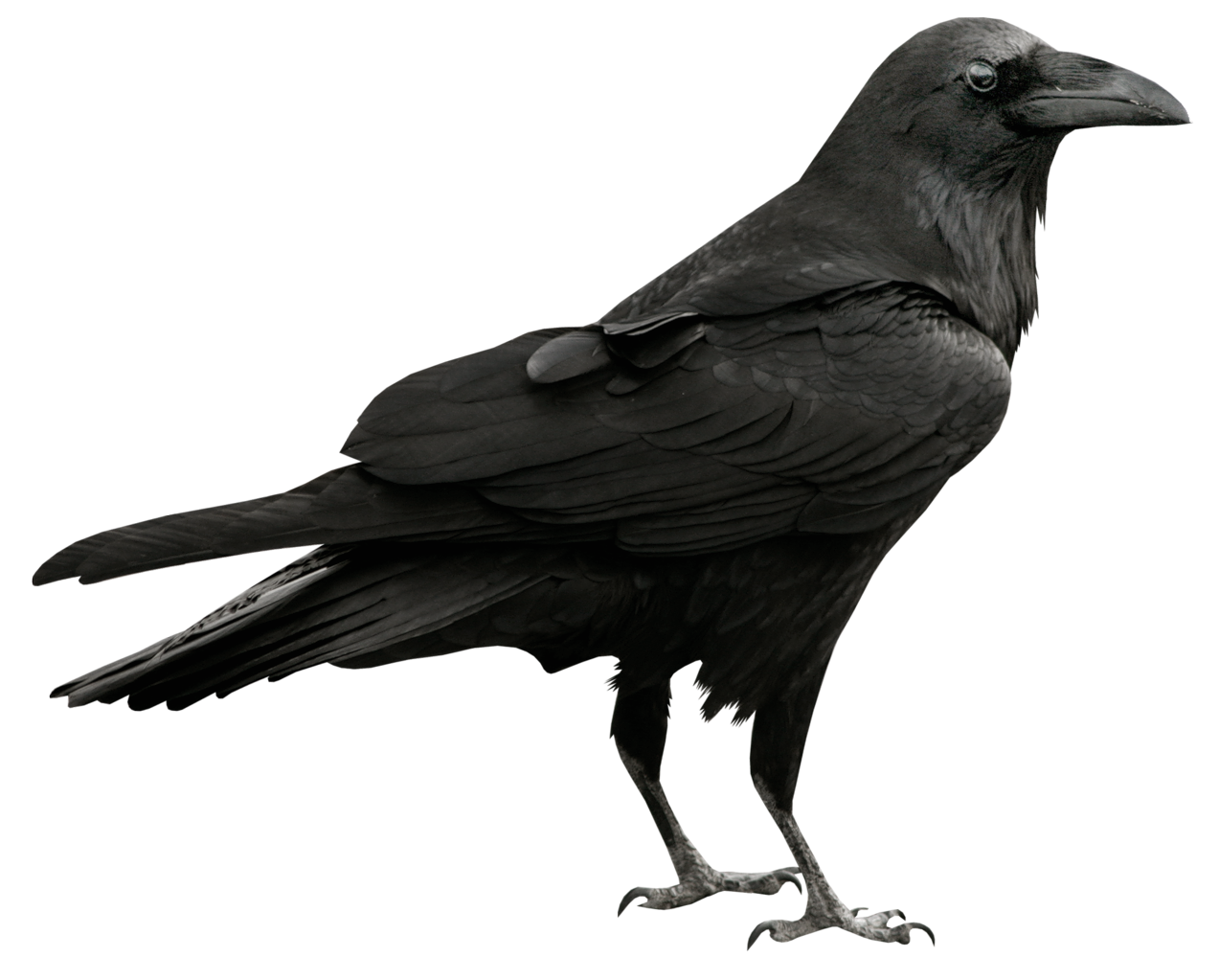 transparent feathers raven