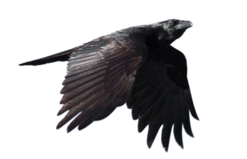 Raven flying png. Free download mart