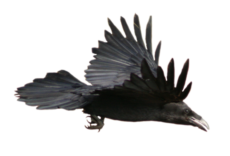 Raven flying png. Stock with alpha layer