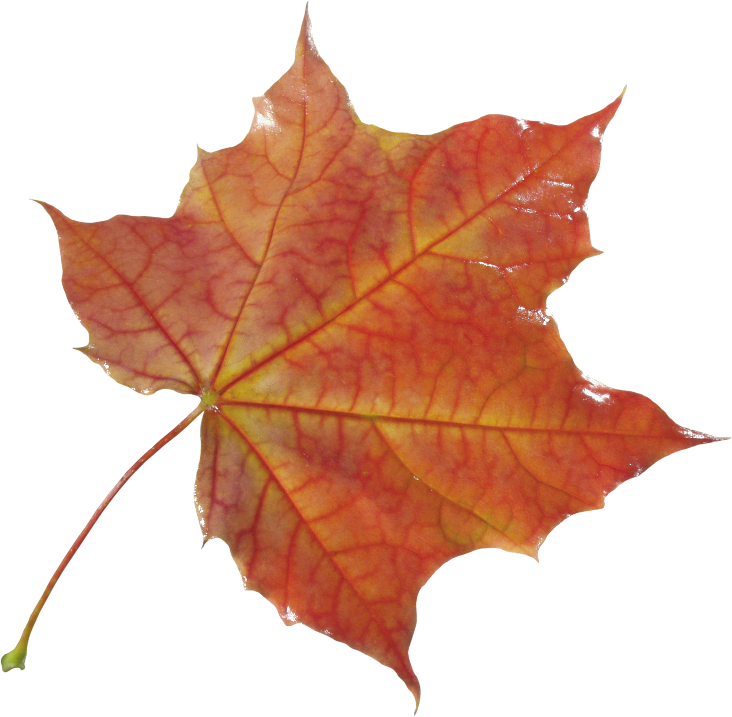 Real falling leaves png. Autumn leaf image purepng