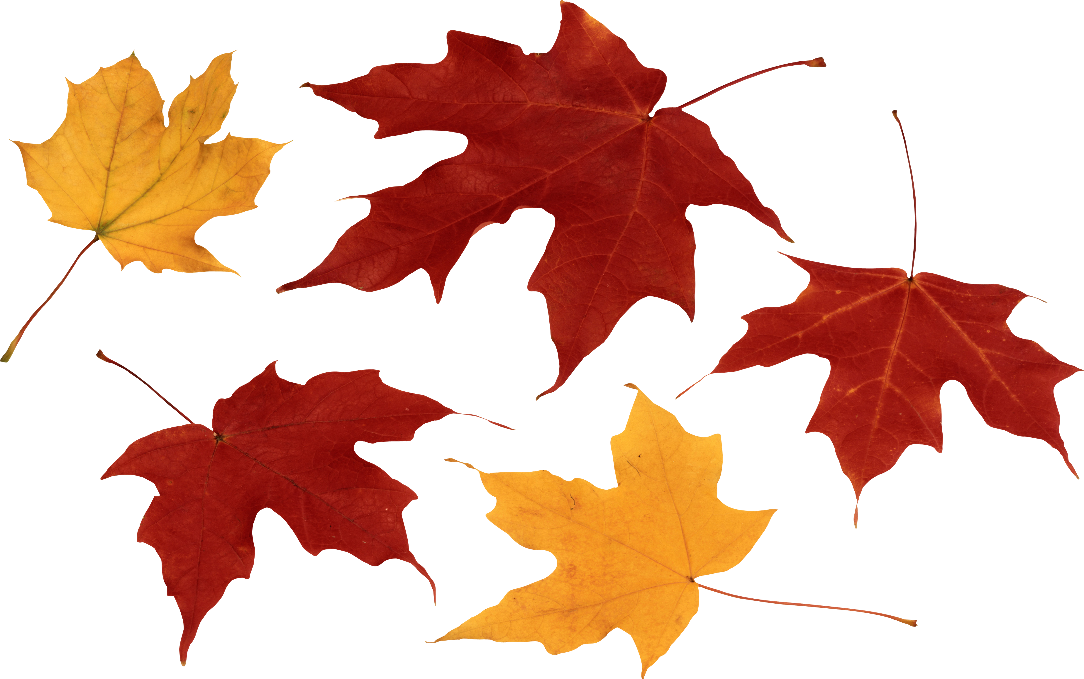 Real falling leaves png. Red autumn leaf image