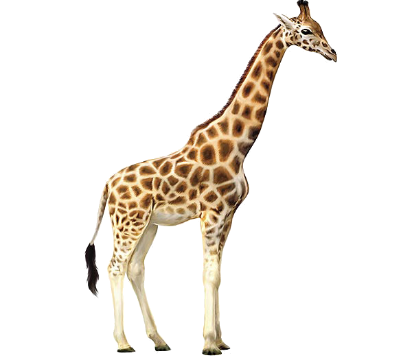Real giraffe png. Images free download
