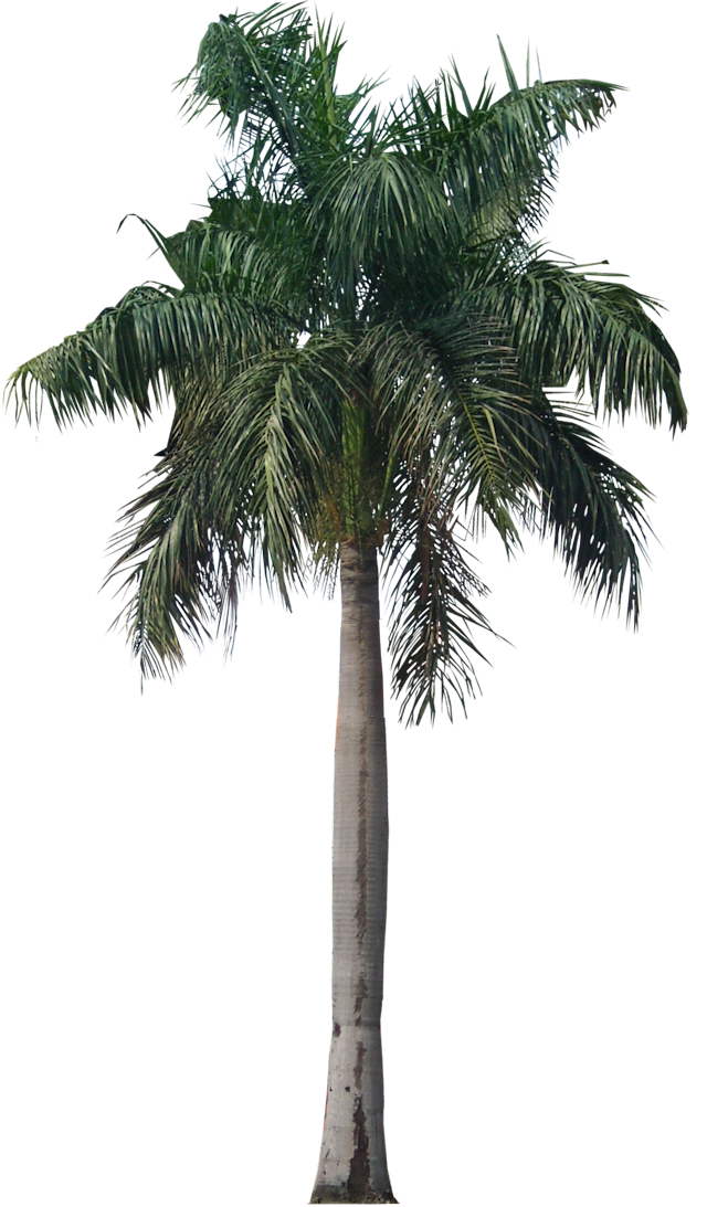 Real palm tree png. A collection of tropical