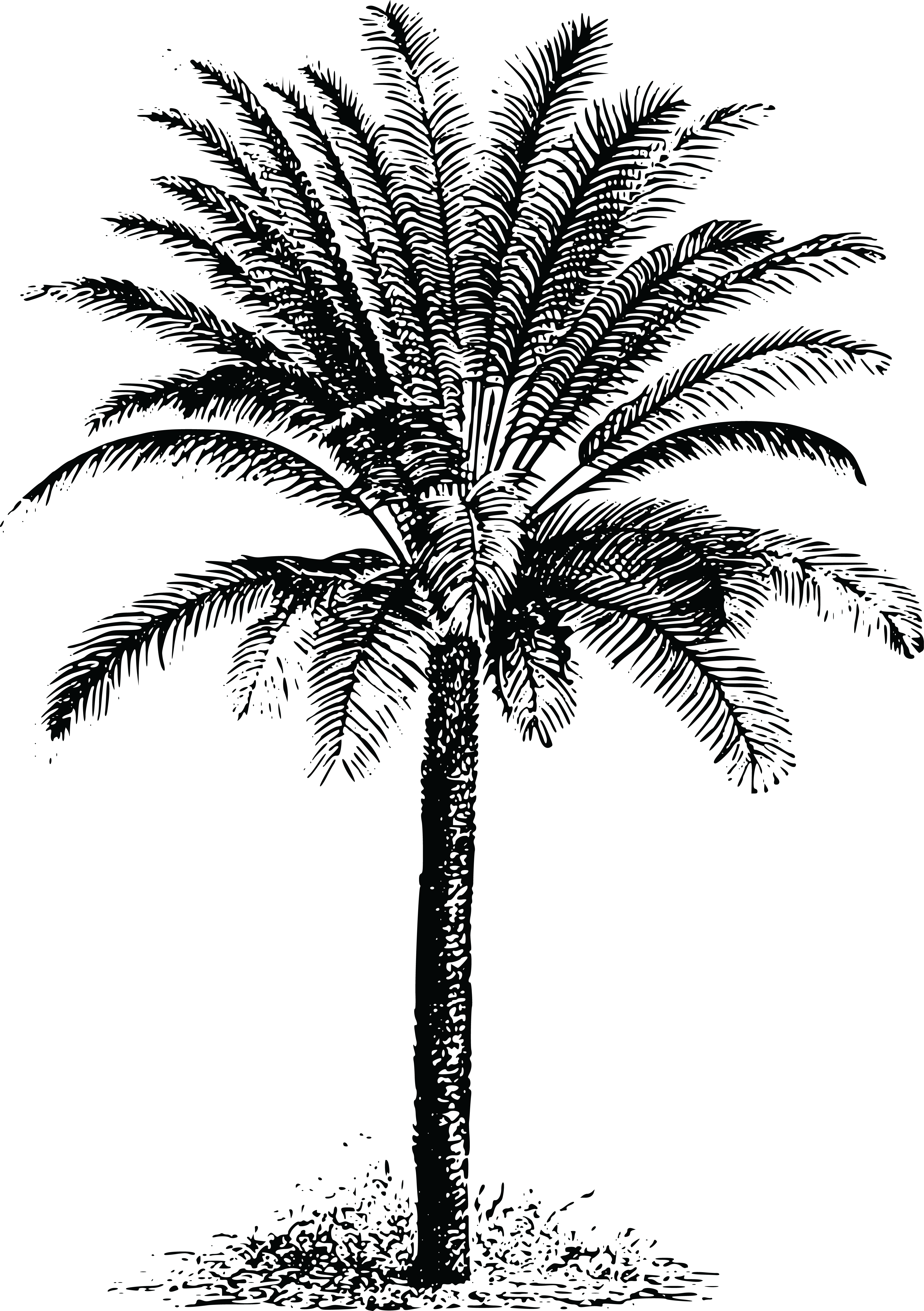 Real palm tree png. Collection of date