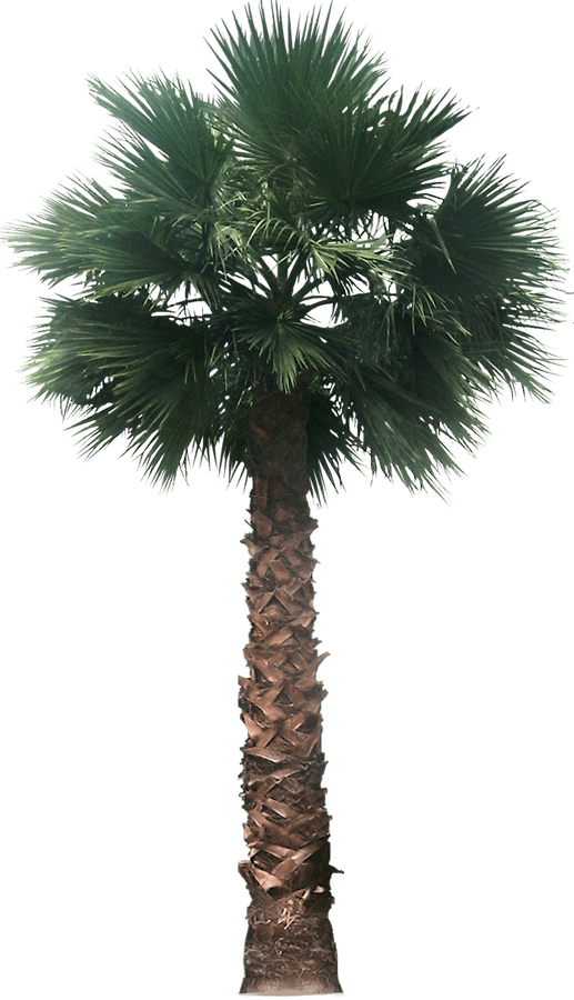Palm tree plan view png. Free images washingtoniafil