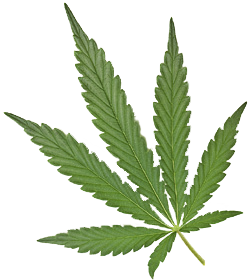 Real weed leaf png. Every great picture on
