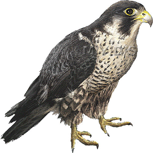 Pencil and in color. Realistic clipart falcon png