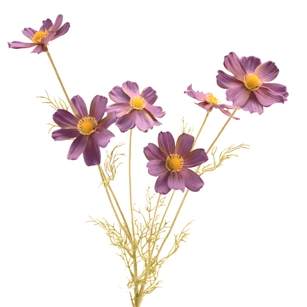 Realistic flower png. Luxury purple blue cosmos