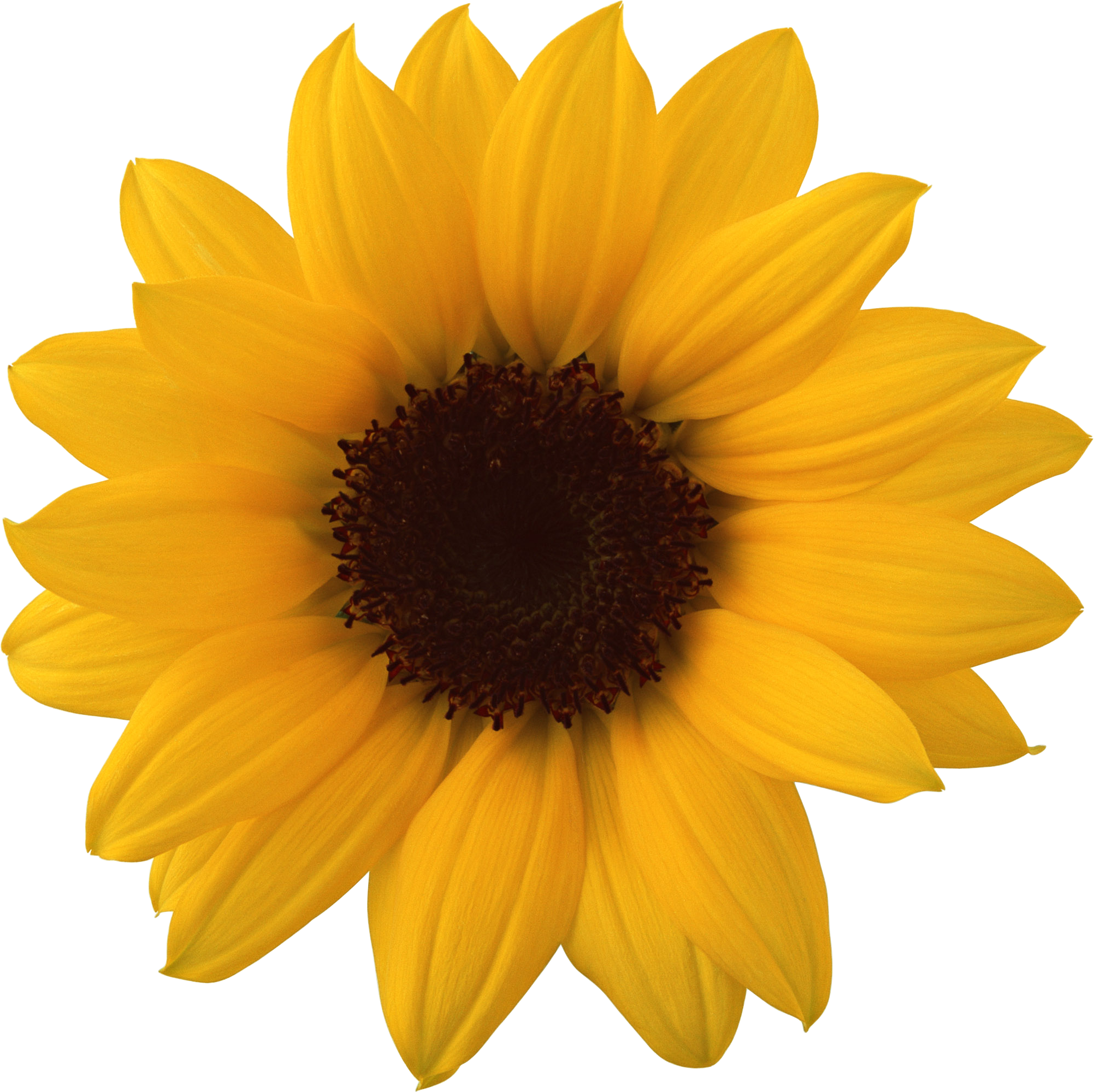 Sunflower png realistic. Images free download