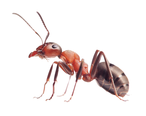 Red ant png. Ants images free download