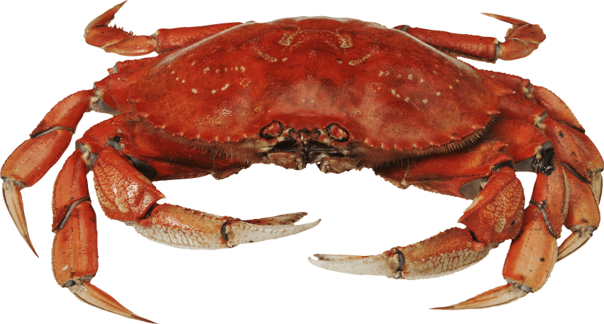 Red crab png. Standing free images toppng