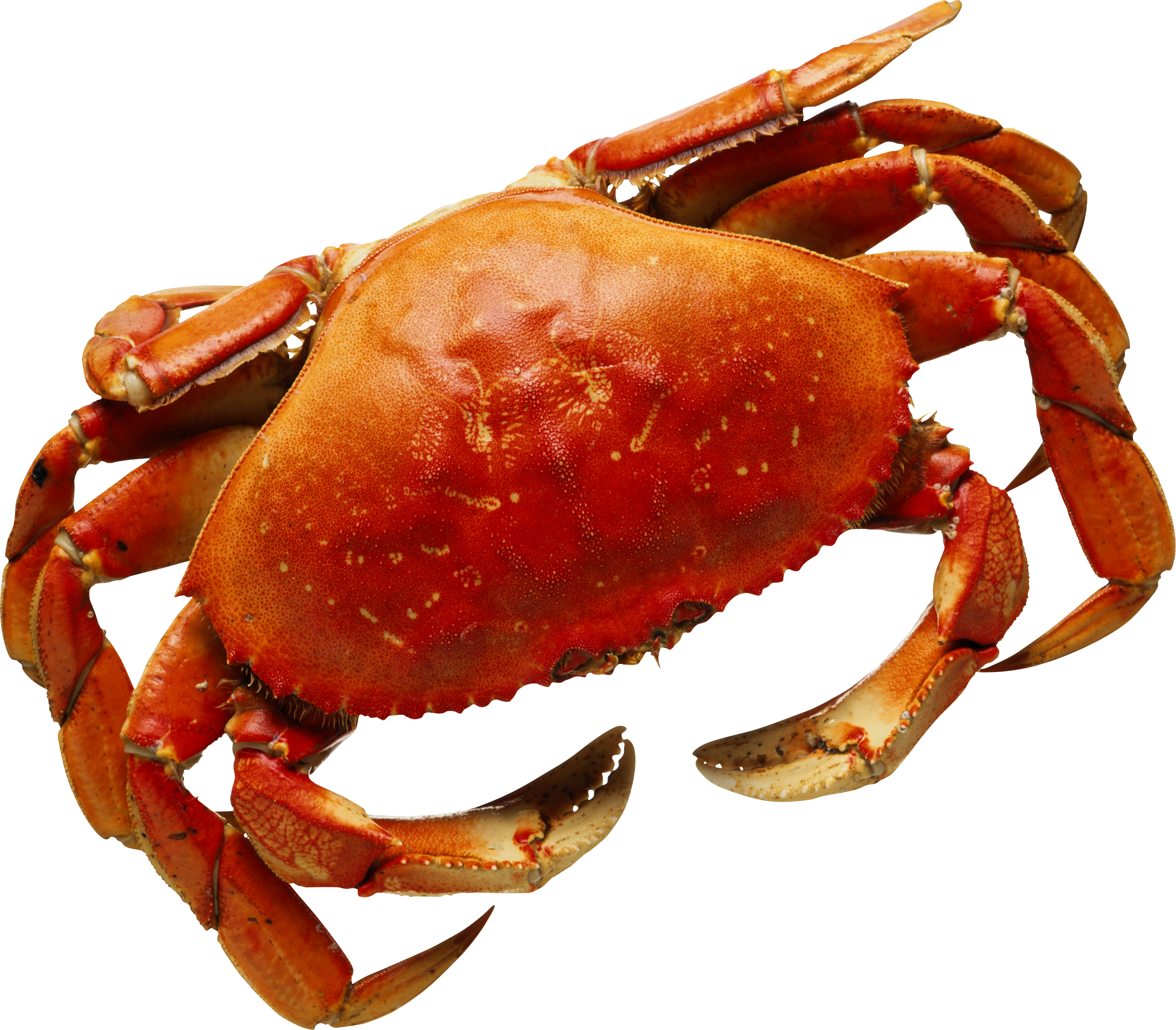 Red crab png.