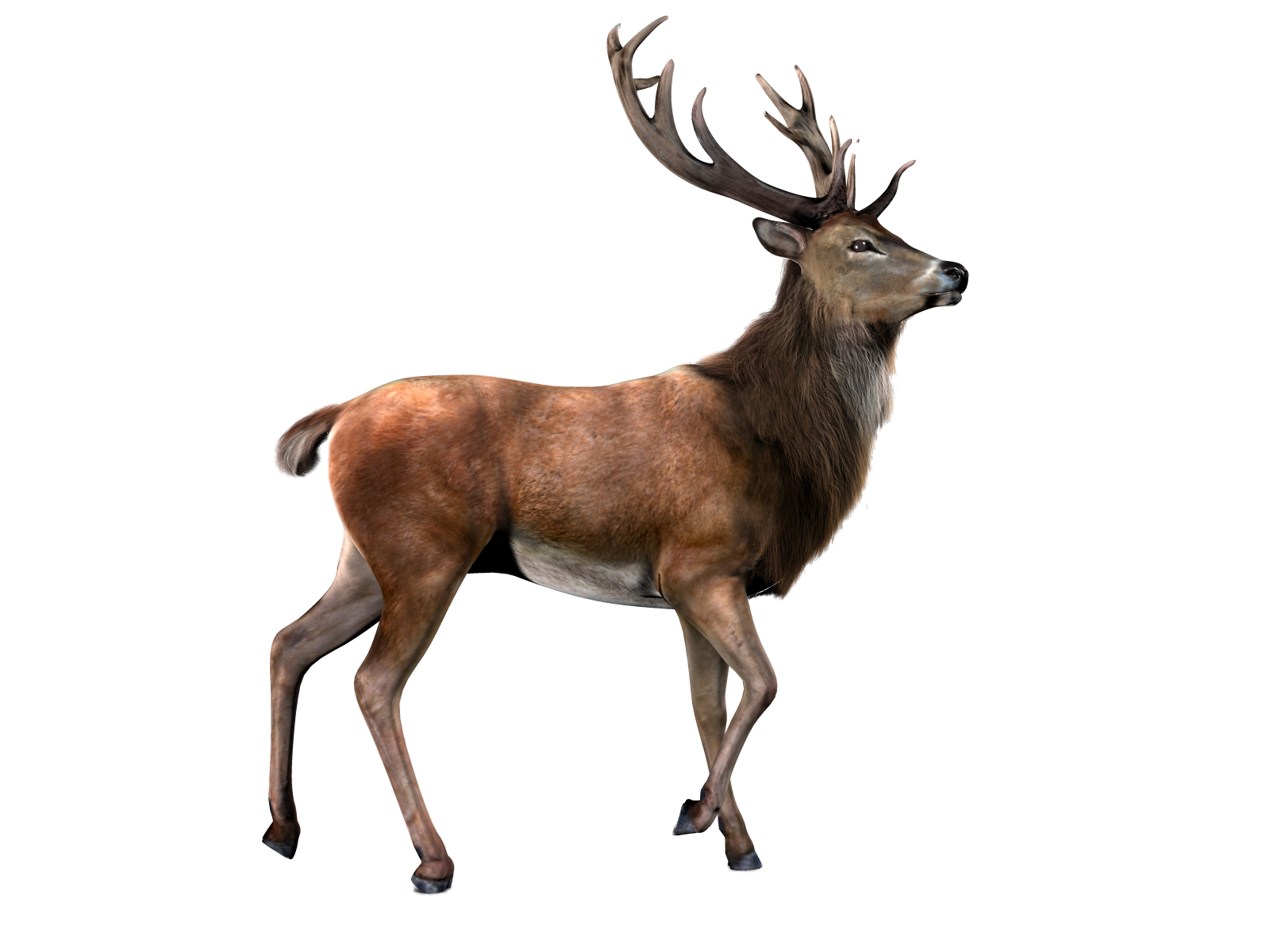 Red deer png. With transparent background mart