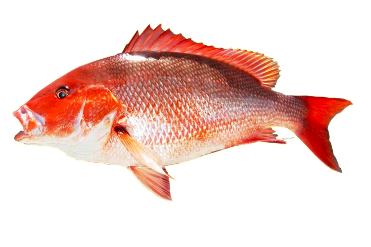 Red fish png. Image vector clipart psd