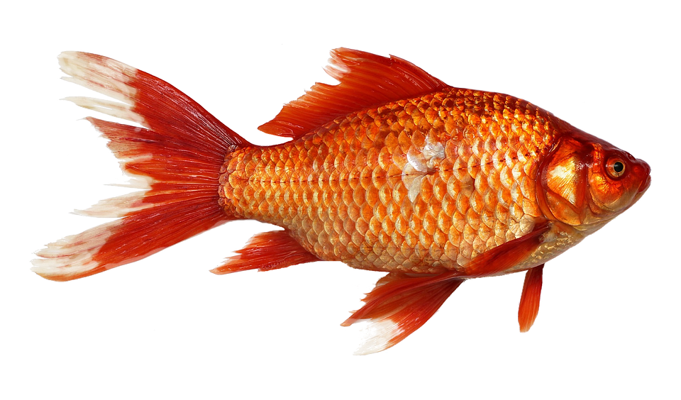 Red fish png. Image