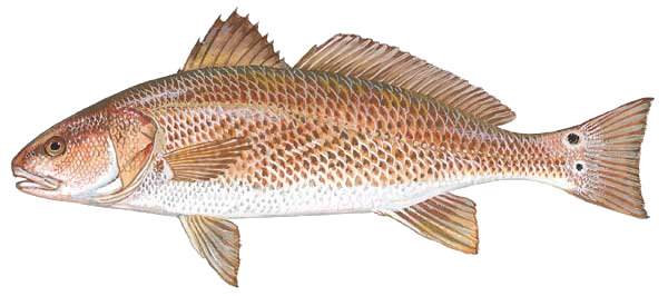 Scdnr saltwater fishing trends. Red fish png vector library stock