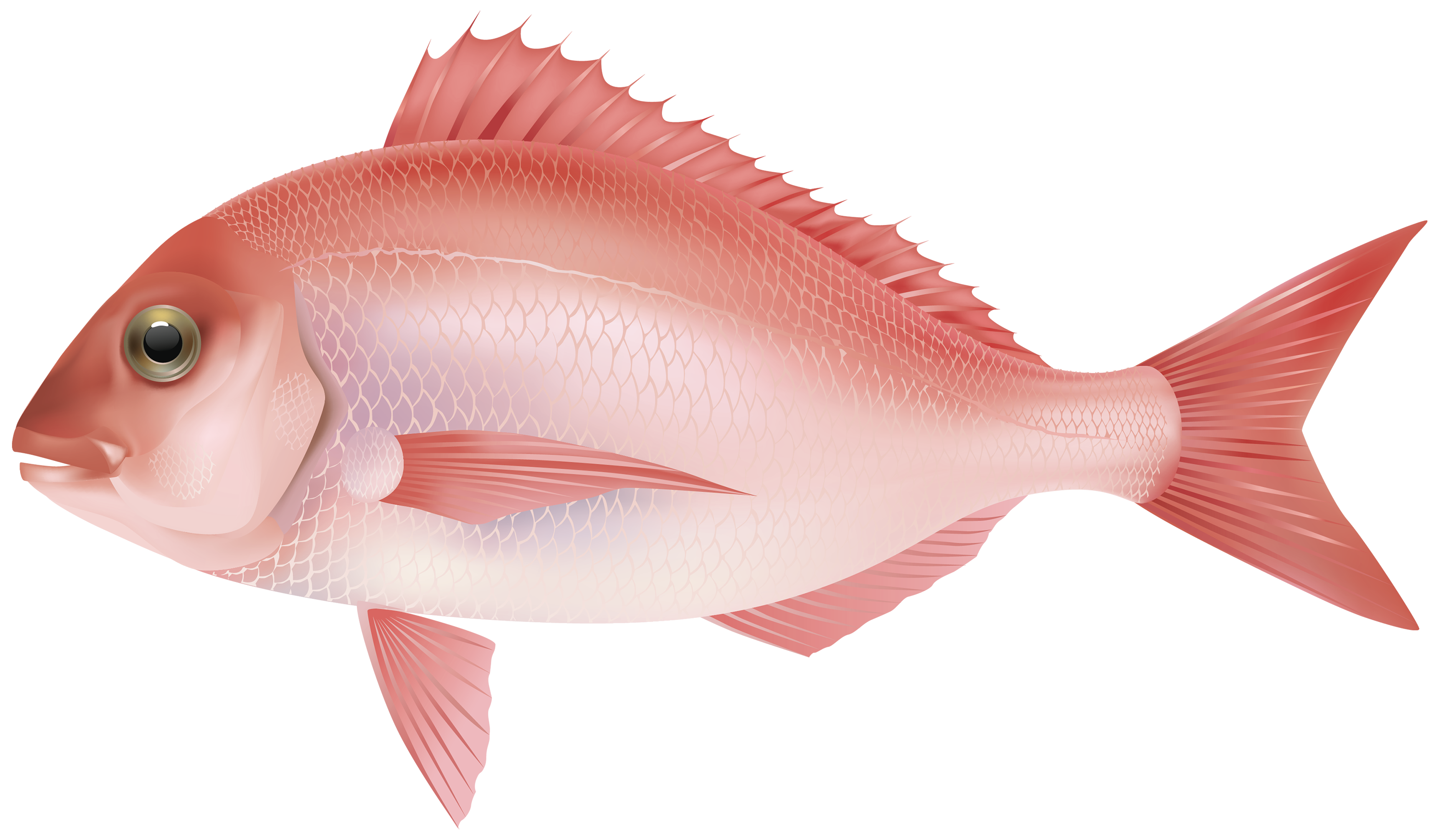 Red fish png. Sea clipart image best