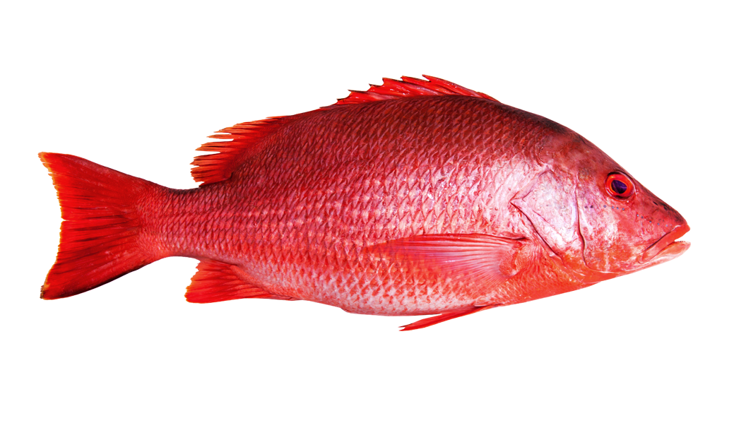 Red fish png. Wholesale snapper wet