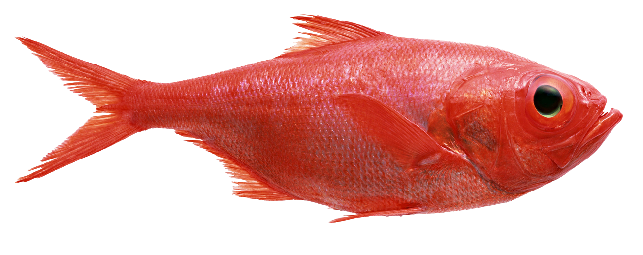 Red fish png. Redfish shark seafoods frozen