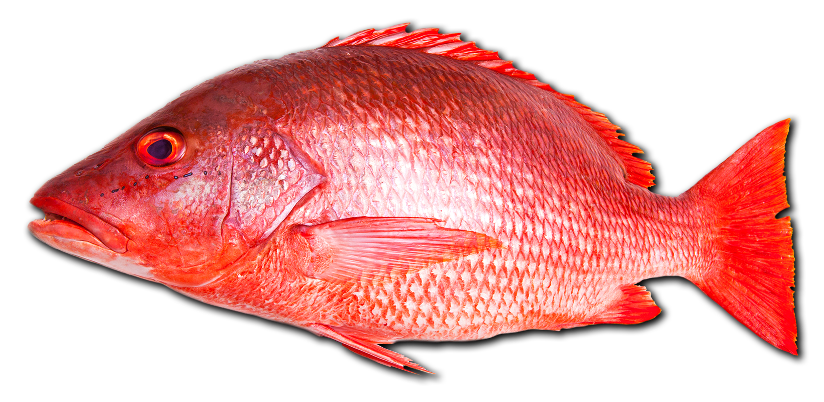 Red fish png. Northern snapper seafood vermilion
