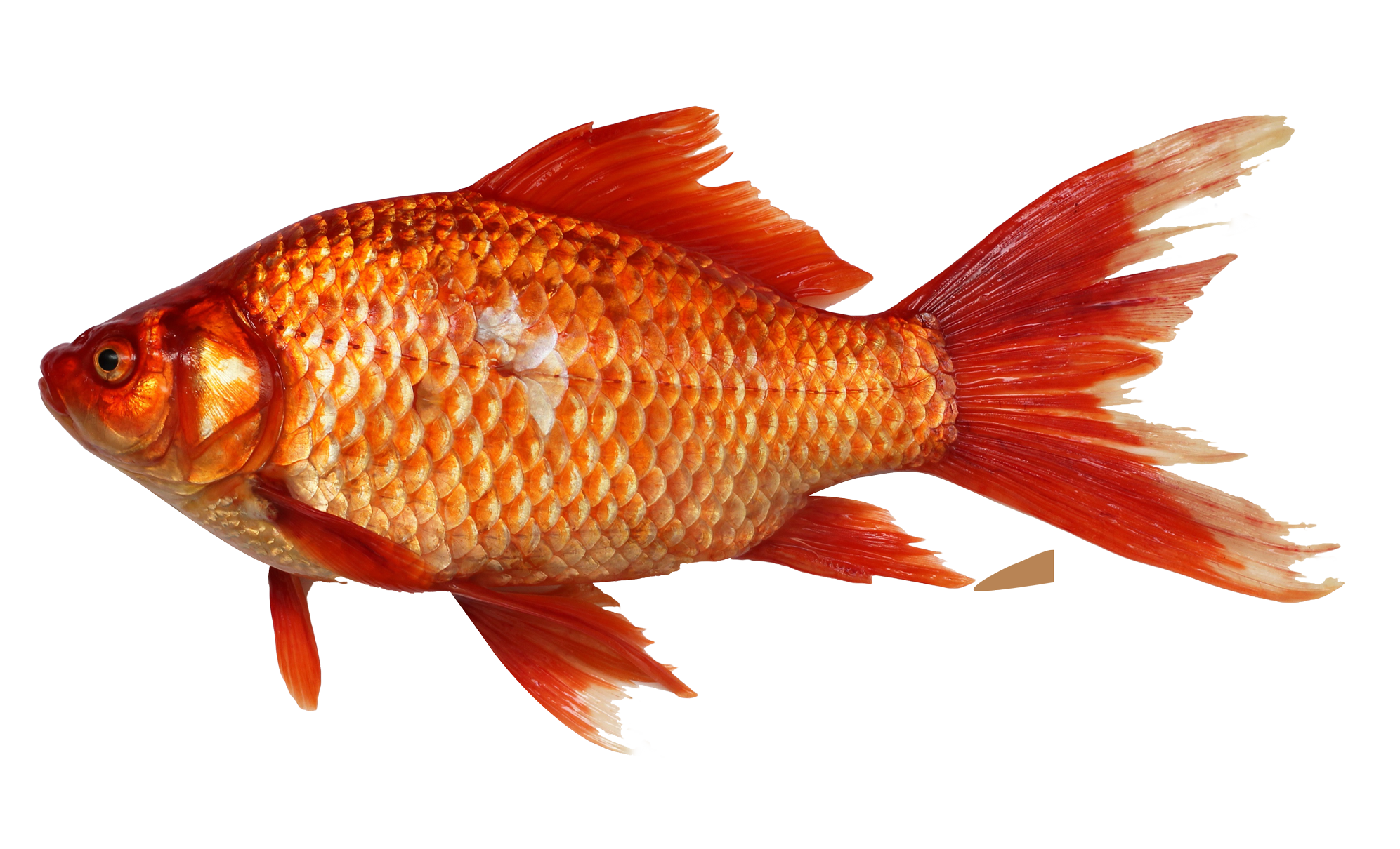 Red fish png.