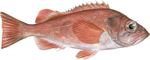 Redfish . Red fish png banner download