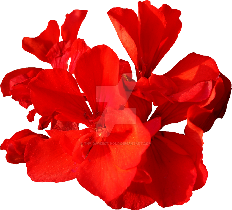 Red flowers png. Flower exclusive by thy