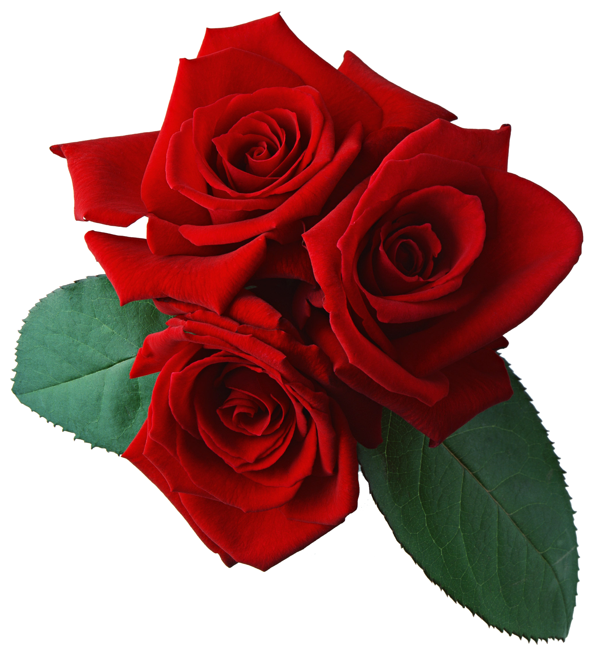 Red flower png. Three rose